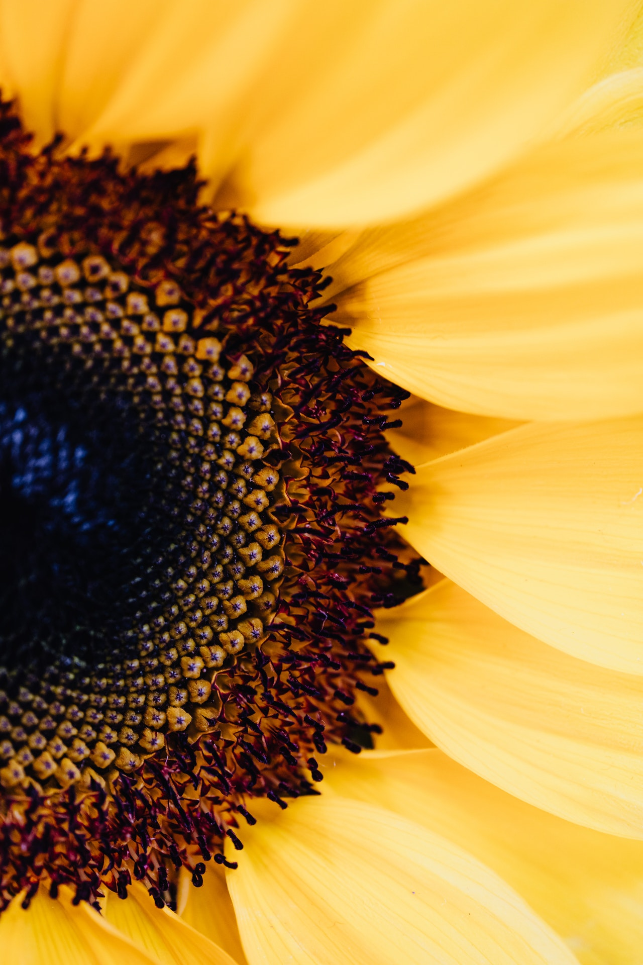 sunflower macro photo